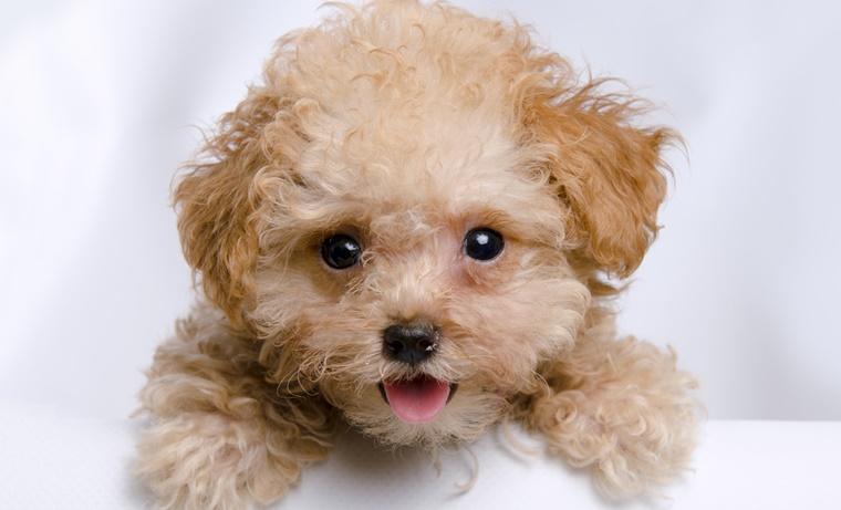 子犬のトイプードルにおすすめするドッグフードの基準