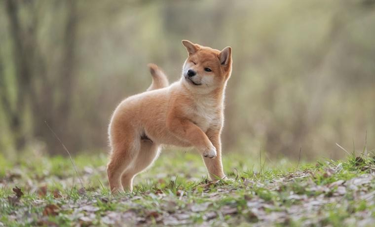 子犬の柴犬におすすめするドッグフードの基準