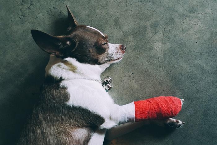 関節を傷めやすいチワワはサポート成分配合のドッグフードを選ぶこと!