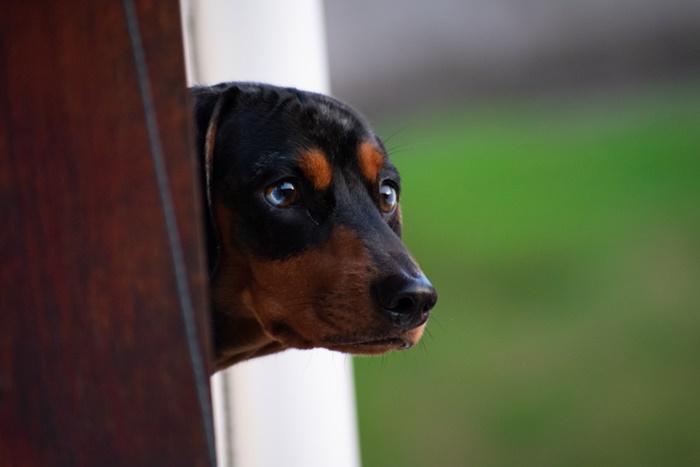 ミニチュアダックスフンドの老犬におすすめするドッグフード!