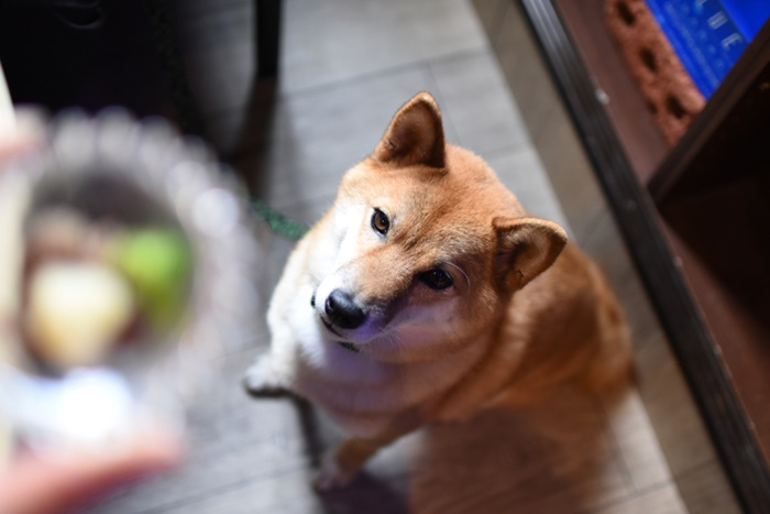 市販ドッグフードで柴犬におすすめは?